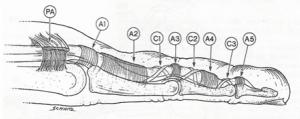 Anatomy of Finger Annular Pulleys (A1-A5)