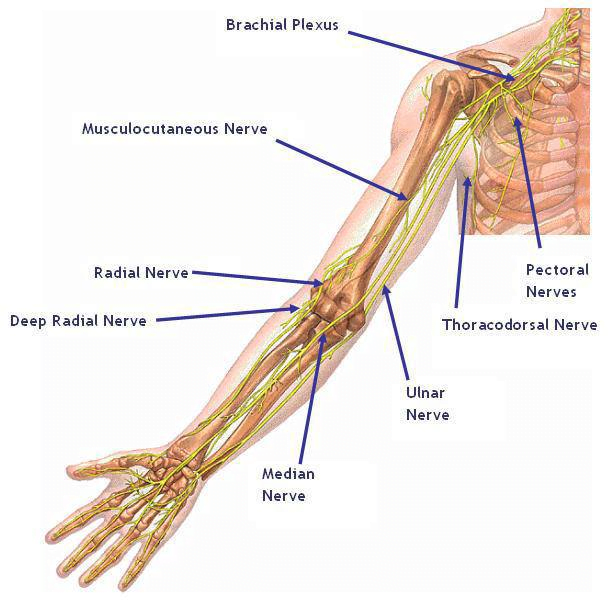 Nerves Of The Arm Maple Physical Therapy Clinic